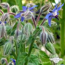 Bourrache officinale (Borago officinalis) #1