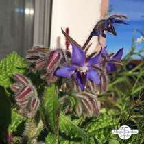 Bourrache officinale (Borago officinalis) #2
