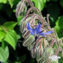 Bourrache officinale (Borago officinalis) #0