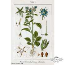 Bourrache officinale (Borago officinalis) #5