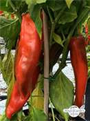Piment 'Big Jim' (Capsicum annuum)