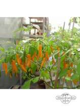 Piment 'Hot Orange' (Capsicum baccatum) #0