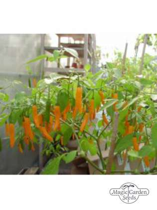 Piment 'Hot Orange' (Capsicum baccatum)