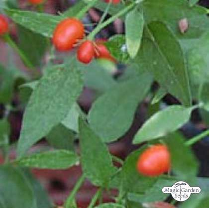 Piment sauvage 'Chacoense' (Capsicum chacoense)