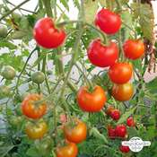 Tomate 'Outdoor Girl' (Solanum lycopersicum)