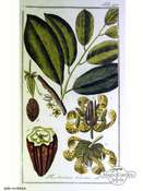 Cacaotier, cacaoyer (Theobroma cacao)