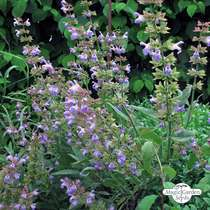 Sauge commune (Salvia officinalis) Bio #2