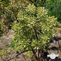 Angélique officinale (Angelica archangelica) bio #1