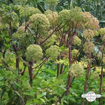 Angélique officinale (Angelica archangelica) bio #0