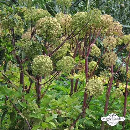 Angélique officinale (Angelica archangelica)