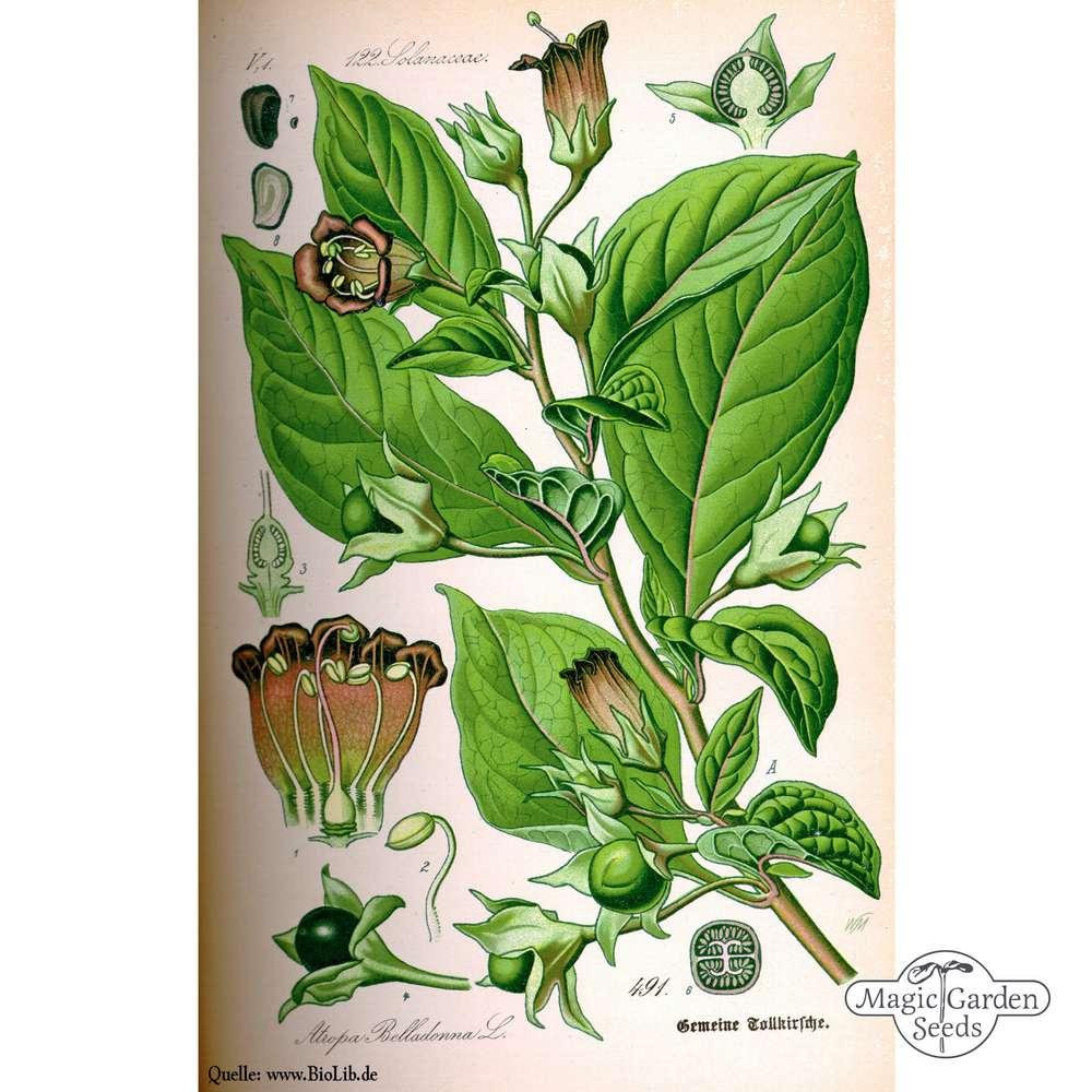 BELLADONE graines ATROPA Black Cherry Arrière Plant 5 Graines Jardin S0855 Décoration