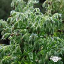 Bourrache officinale blanche 'Alba' (Borago officinalis) bio - en vrac (5g / 250 semences) #1