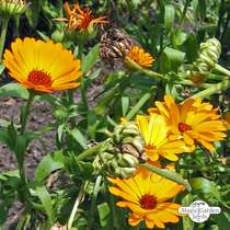 Souci officinal (Calendula officinalis) conventionnel #1