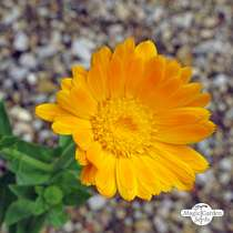 Souci officinal (Calendula officinalis) conventionnel #2