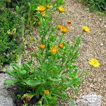 Souci officinal (Calendula officinalis) conventionnel #3