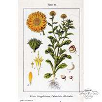Souci officinal (Calendula officinalis) conventionnel #4