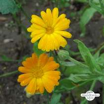 Souci officinal (Calendula officinalis) conventionnel #0