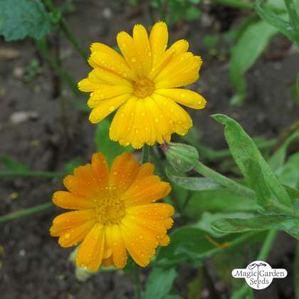 Souci officinal (Calendula officinalis) conventionnel