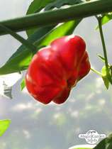 Piment Chili Mini Bonnet (Capsicum baccatum) #0