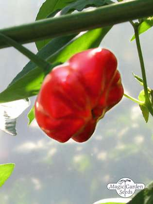 Piment Chili Mini Bonnet (Capsicum baccatum)