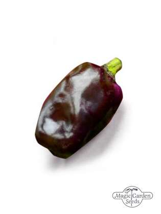 Piment 'Purple Tiger' (Capsicum annuum)