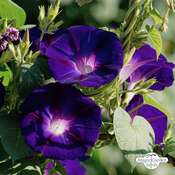 Purple Morning Glory (Ipomea Purpurea) Organic