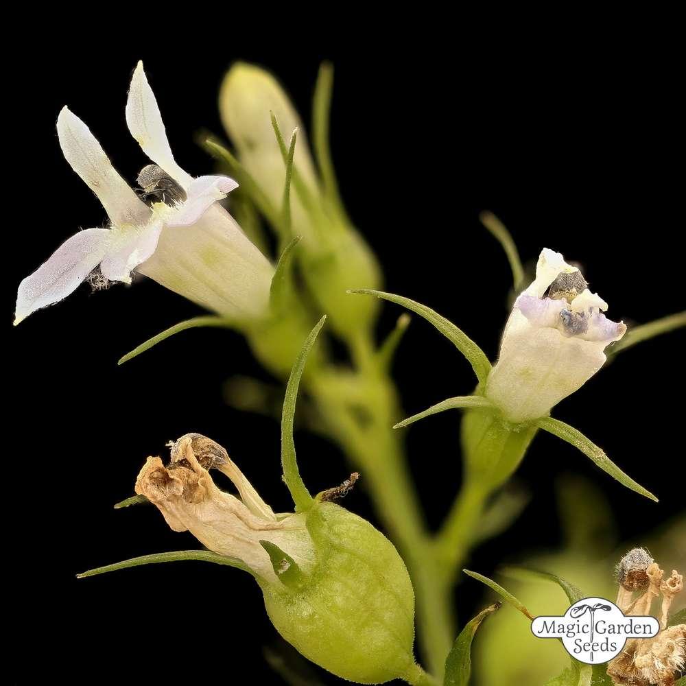 Tabac Indien Lobelia Inflata Les Uniques Plantes Exotiques