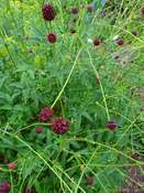 Great burnet (Sanguisorba officinalis)