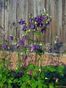 Common columbine (Aquilegia vulgaris)