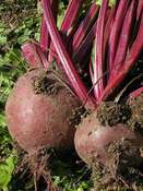 Beetroot 'Boltardy' (Beta vulgaris)