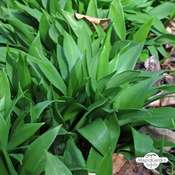 Ramsons, Bear Garlic (Allium ursinum)