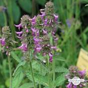 Bétoine officinale, Épaire officinale (Betonica officinalis) bio