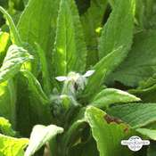 Bourrache officinale blanche 'Alba' (Borago officinalis) bio - paquet