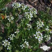 Scurvy grass (Cochlearia officinalis)